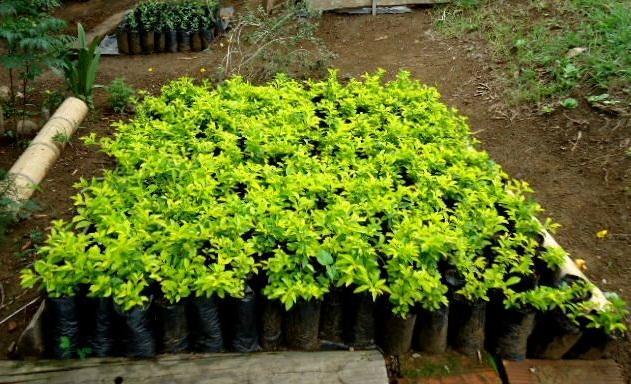 Im genes de vendo swinglia y duranta arbustiva para cercas for Vendo plantas ornamentales