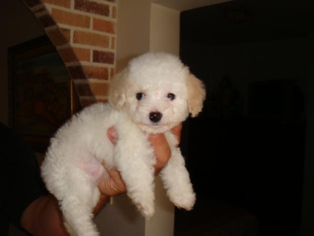 imagenes de perros french poodle: